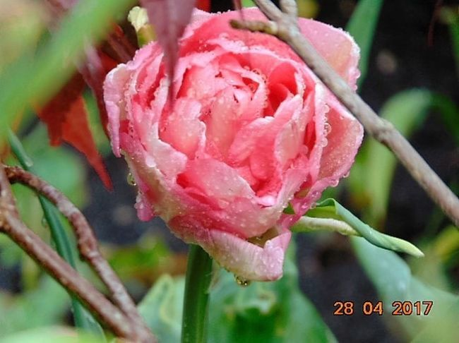 Beauty In Nature Growth Nature Day Flower Close-up Petal Outdoors Freshness Pink Color No People Plant Red Fragility Flower Head Blooming St Agnes Tulip Single Flower