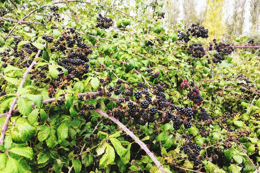 lots of natural goodness Fruit Blackberry Blackberry - Fruit Blackberries Honor 10 United Kingdom Art is Everywhere Backgrounds Tree Full Frame Close-up Plant Green Color Growing Blooming In Bloom