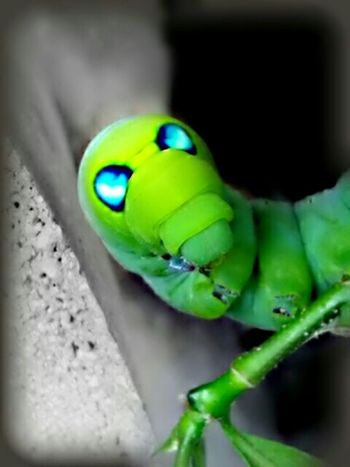 """saying """" Namaste """".. 😊🙏The OO Mission Caterpillar Green Caterpillar Blue Eyes Colorsplash Insects  Insect Collection Green Caterpillar With Blue Eyes My Edit Nature Mobile Photography Interesting Popular Caterpillars  Caterpillar Toes Stem Fine Art Photography Showcase July"""