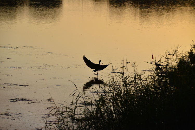 Animal Animal Themes Animal Wildlife Animals In The Wild Beauty In Nature Bird Day Flying Lake Nature No People One Animal Outdoors Plant Reflection Silhouette Sky Sunset Vertebrate Water