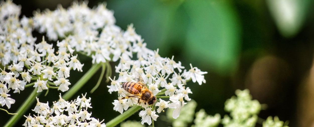 Spring flower bee pollinate white stem pedals Flower Flowering Plant Fragility Plant Freshness Vulnerability  Beauty In Nature