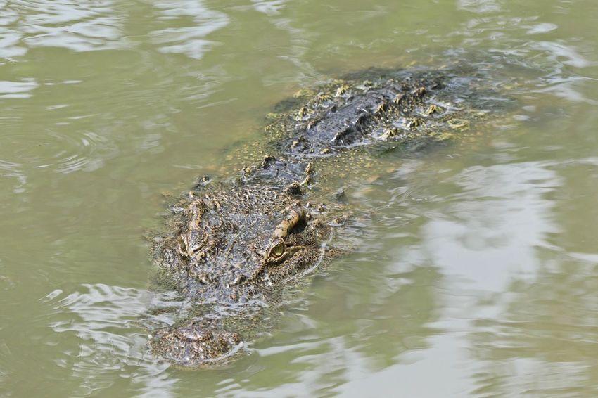 Close up of Siamese Crocodile Zoo Alligator Crocodile High Angle View Lake No People One Animal Reptile Siamese Crocodile Water
