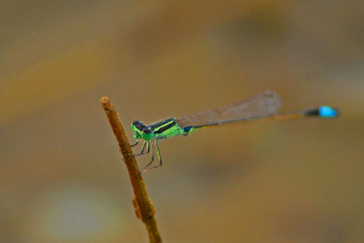 Close-up of damselfly on stem