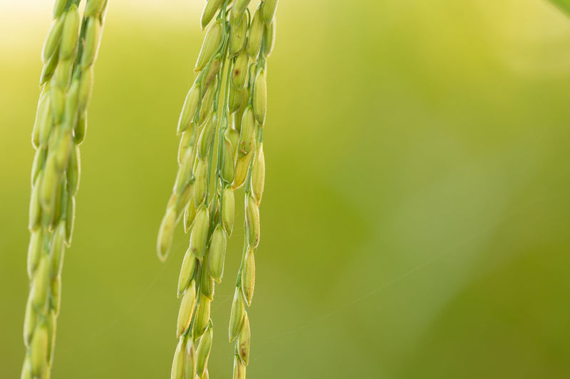 Close-up of wheat crop