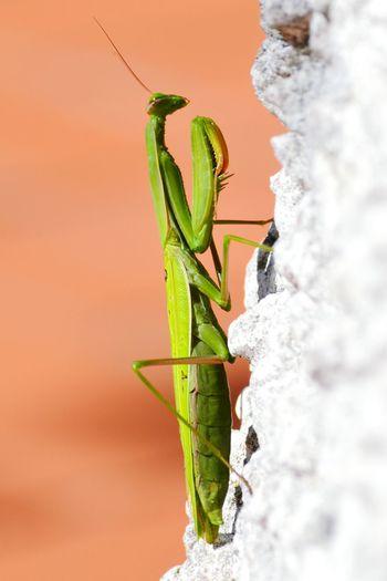 Close-up of praying mantis
