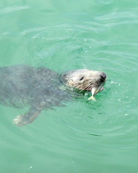 Swimming Water One Animal Animal Themes Animal Wildlife High Angle View Waterfront Sea Green Color Animals In The Wild Nature No People Outdoors Underwater Living Organism Day Seal St Ives Harbour St Ives Cornwall Kernow England Atlantic Grey Seal
