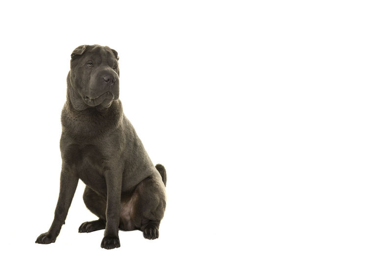 Sitting grey Shar-pei dog looking away isolated on a white background in a horizontal image Sharpei Shar Pei Looking Away Gray One Animal Animal Themes Animal Dog Canine Pets Domestic Domestic Animals Sitting Studio Shot Full Length Copy Space Cut Out White Background