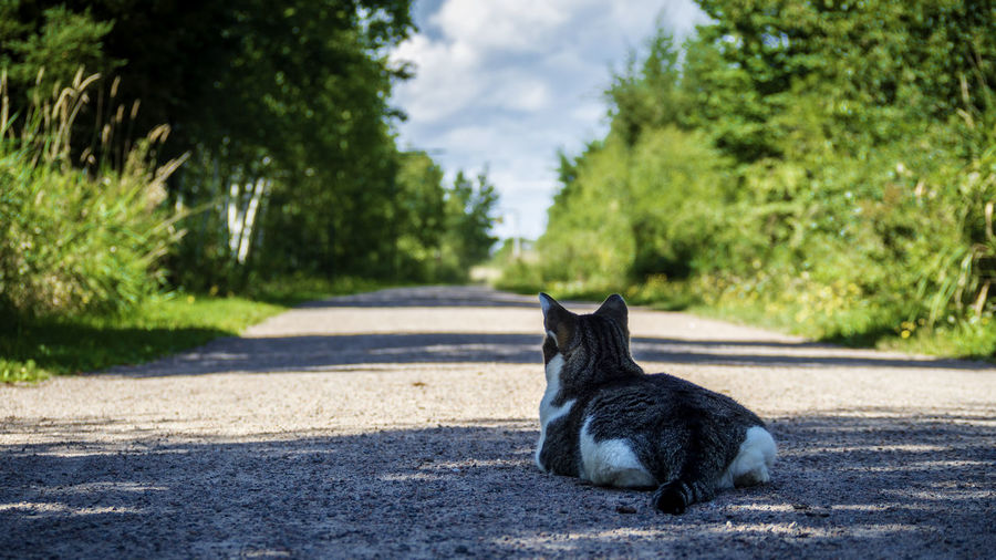A cat enjoy the sunshine in the middle of the road in the summer One Animal Animal Animal Themes Mammal Vertebrate Pets Domestic Nature Domestic Animals Feline Day No People Cat Domestic Cat Canada Prince Edward Island Road Sunlight Country Road Countryside Rural Scene Rural Plant Sitting Tree