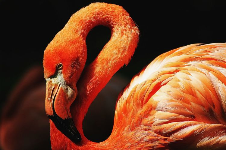 Flamingo Bird Orange Color Animal Animal Themes Animal Wildlife No People Black Background One Animal Indoors  Nature Animal Body Part Animals In The Wild Close-up Africa Fire EyeEm Best Shots EyeEm Nature Lover EyeEm Selects My Best Photo My Best Photo My Best Photo