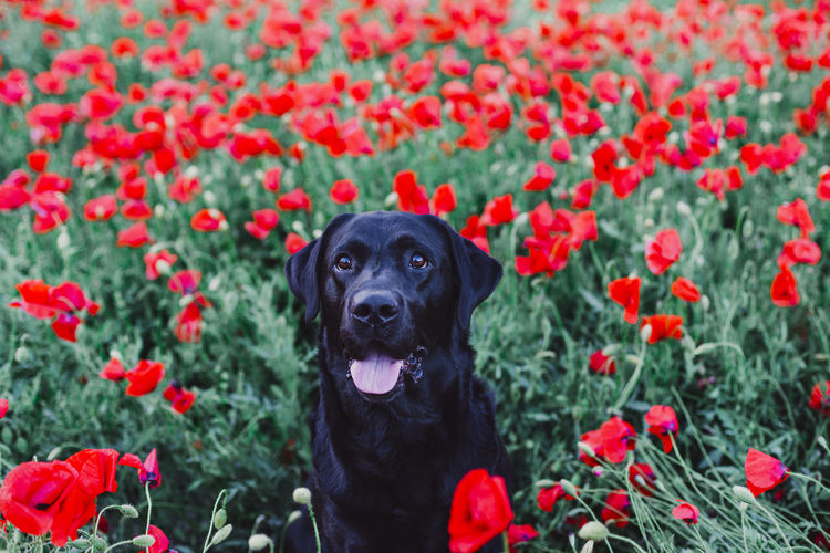 High angle view of dog sticking out tongue sitting amidst flowers in park