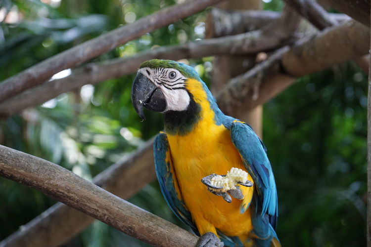 Animal Themes Animal Wildlife Animals In The Wild Beauty In Nature Bird Close-up Day Focus On Foreground Gold And Blue Macaw Macaw Nature No People One Animal Outdoors Parrot Perching Tree