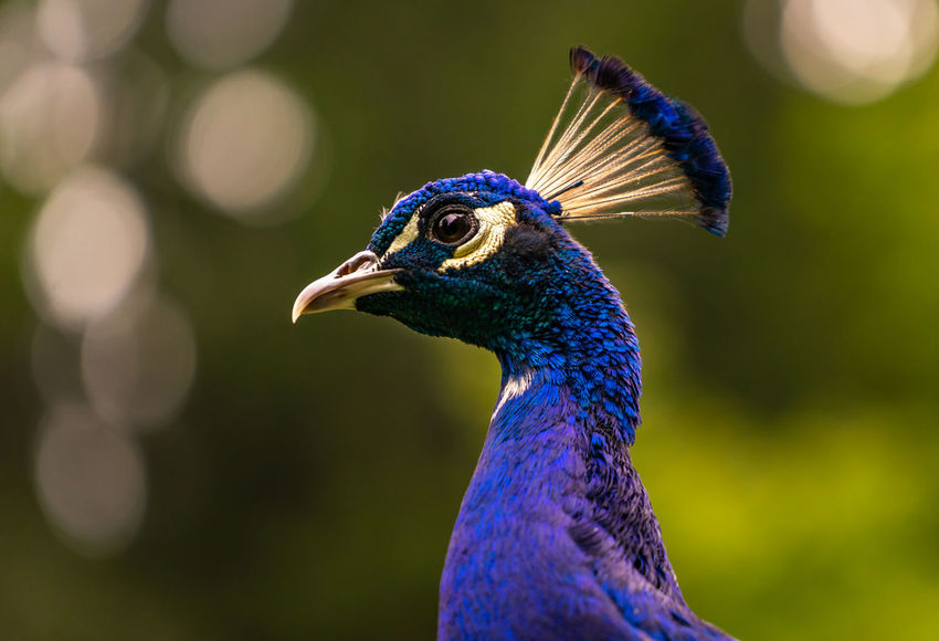 Beautiful majestic male peacock, side portrait Animal Animal Body Part Animal Eye Animal Head  Animal Themes Animal Wildlife Animals In The Wild Beak Beauty In Nature Bird Blue Close-up Day Focus On Foreground Looking Looking Away Nature No People One Animal Outdoors Peacock Profile View Purple Side View Vertebrate