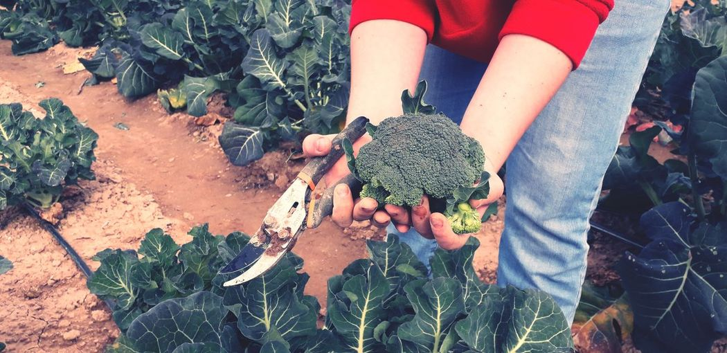 brocolli picking at the farm Human Hand Tree High Angle View Close-up Plant Vegetable Garden Planting Gardening Equipment Gardening