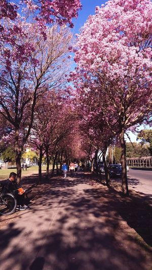 Mi bella ciudad Tree Beauty In Nature Nature Day Outdoors No People Shadow The Way Forward Growth Scenics Sky Branch Pink Pink Color Pink Flower City Street Urban Nature