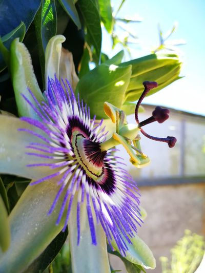 Flower Fragility Purple Petal Flower Head Freshness Beauty In Nature Nature Growth Close-up Day Plant Passion Flower No People Outdoors