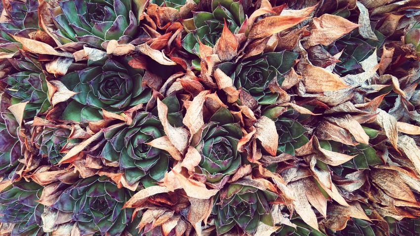 Succulent Plant Fading Away Autumn colors Autumn Nature Nature Patterns Pattern, Texture, Shape And Form Fall Backgrounds Flower Full Frame Leaf Close-up
