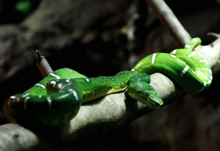 Green tree Python Snake Python Reptile Wildlife Nature Dangerous