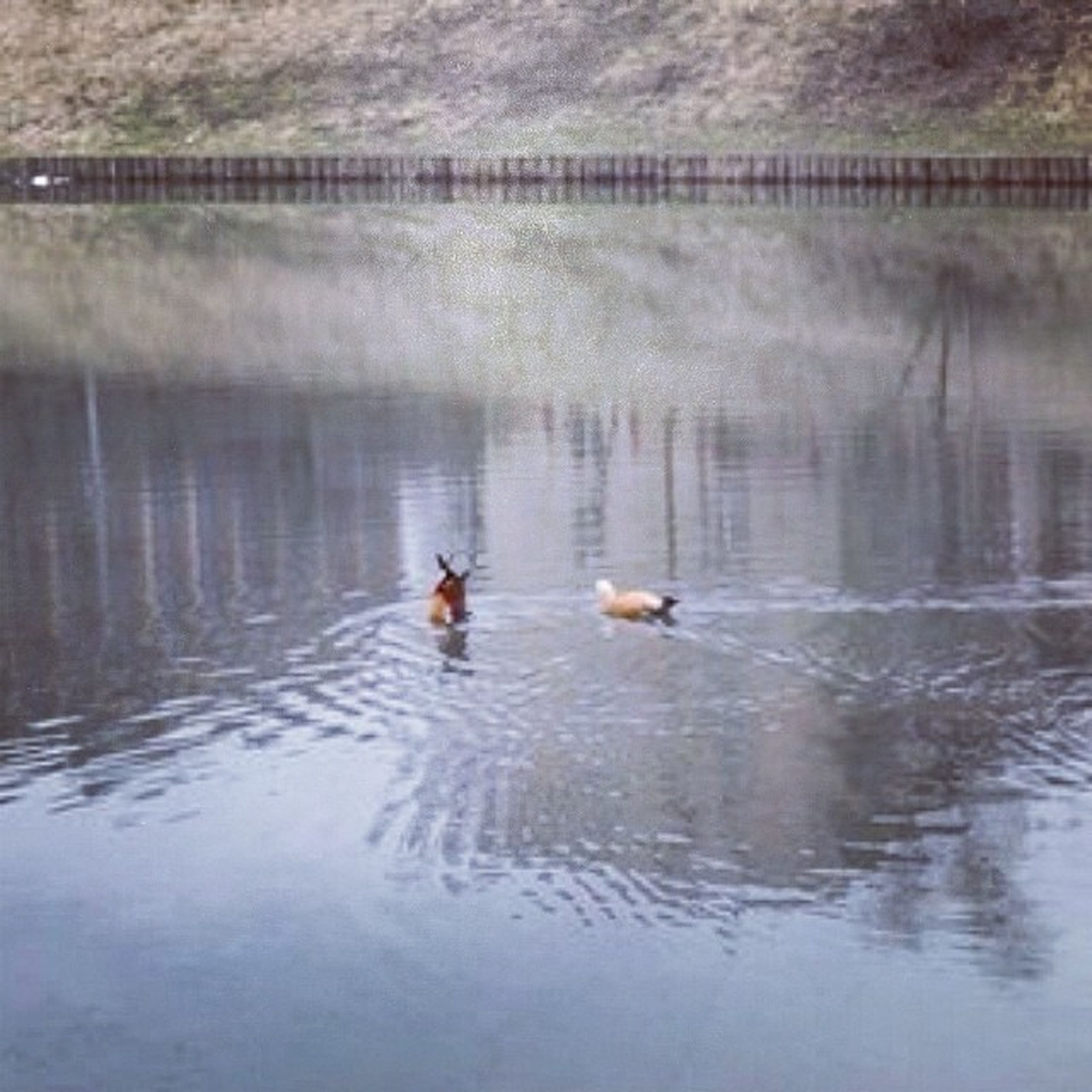 bird, animal themes, water, animals in the wild, lake, wildlife, swimming, duck, waterfront, reflection, water bird, nature, rippled, two animals, togetherness, medium group of animals, swan, mallard duck, outdoors, floating on water