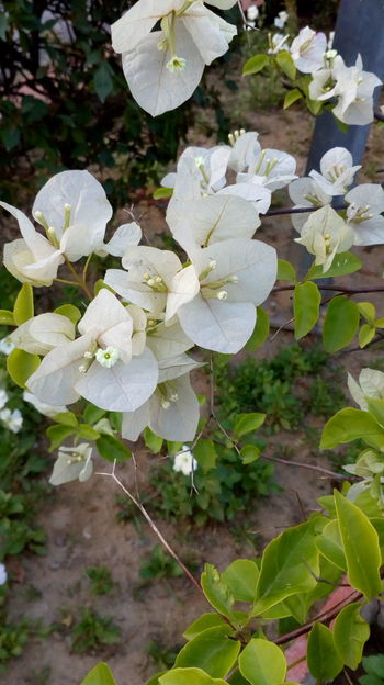 Flowers White Color Growth Beauty In Nature Freshness Fragility Flower Head Outdoors Plant Beautiful ♥ Many Flowers To Enjoy Backgrounds Greenleaves Blooming Petal WhiteCollection Green Green Green!  Pistil Blossoming Fresh & Bright Leaves🌿 Branches Beautiful Nature Botony Soil On The Ground