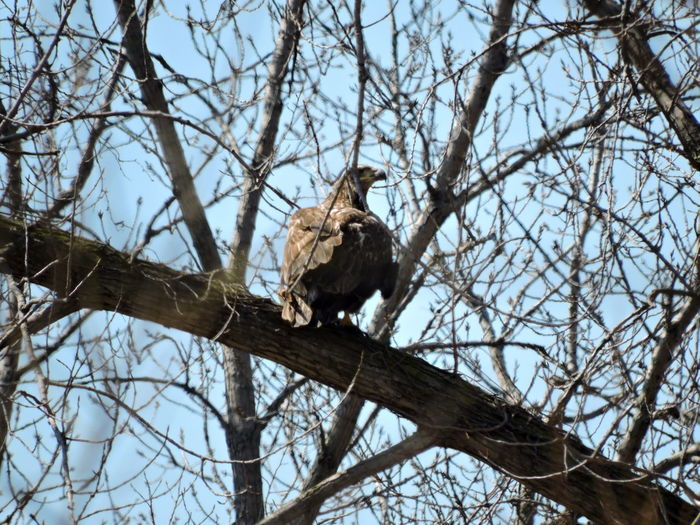 Animal Animal Themes Animal Wildlife Animals In The Wild Bare Tree Bird Branch Day Eagle Low Angle View Mammal Nature No People One Animal Outdoors Perching Plant Sitting Sky Tree Vertebrate Young Eagle