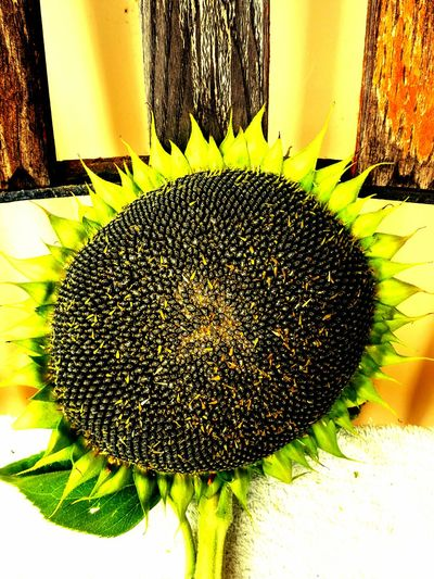 Perfect Harvest Pollenation Yellow Flower Time To Pick Sunflower Seeds Ready To Go Sunflower 🌻 Sunflowers🌻 Day No People Green Color Plant Colorful Life Outdoors
