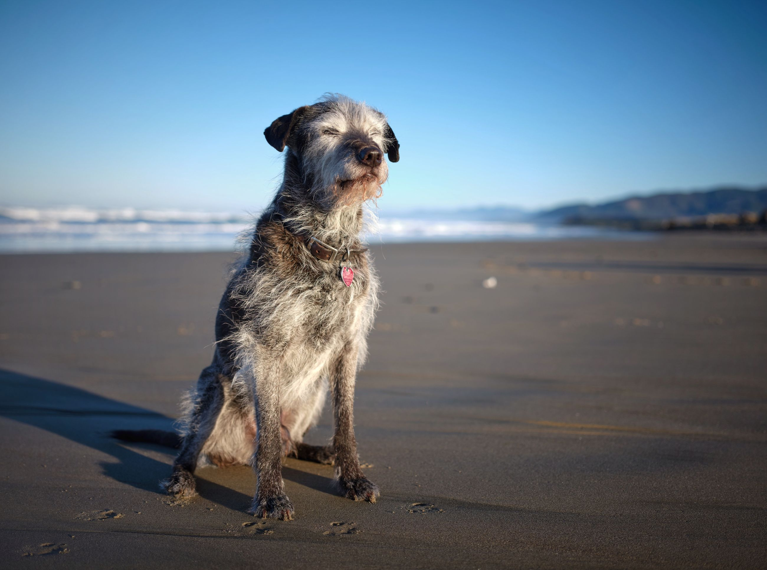 one animal, dog, mammal, animal themes, canine, animal, domestic, domestic animals, pets, land, beach, vertebrate, sky, sand, sea, nature, sunlight, full length, looking away, no people, small