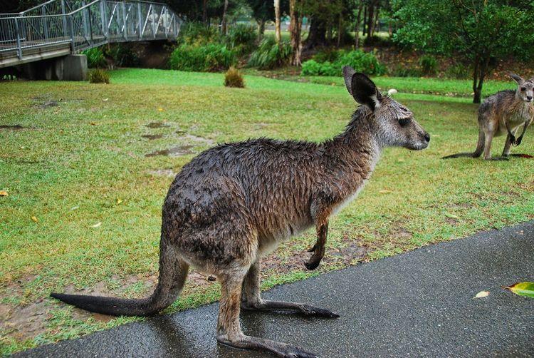 Bad Mood Domestic Animals Kangaroo Mammal Missing Sun One Animal Rainy Day Sideview