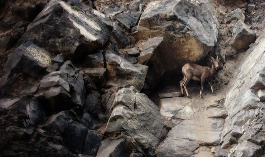 One of the many man-eating animals of the Canadian Rockies 😀 Mountain Goat Animal Themes Animals In The Wild Teetering Cliffhanger Mountains Rock Formation Nature Wild Animals Mountain Addict Goat EyeEm Nature Lover The Great Outdoors - 2016 EyeEm Awards The Portraitist - 2016 EyeEm Awards