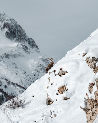 Alpine ibex on scenic view of snow covered mountains against sky
