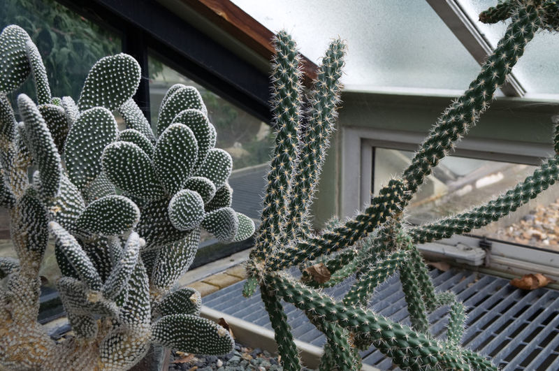 Kew Gardens Nikon Architecture Beauty In Nature Building Building Exterior Built Structure Cactus Close-up Day Focus On Foreground Green Color Growth Low Angle View Nature No People Outdoors Pattern Plant Succulent Plant Thorn Window