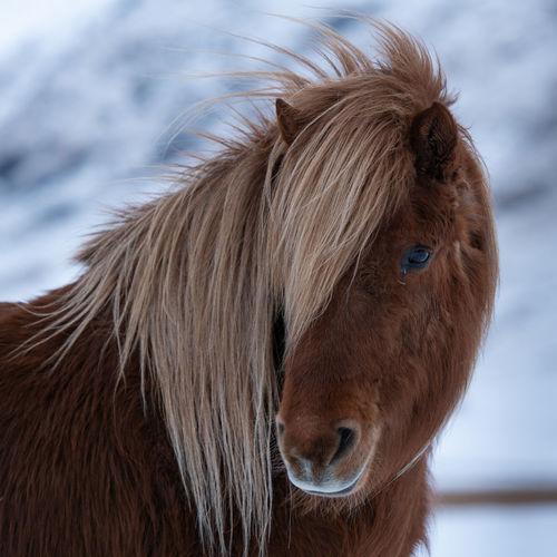 Close-up of icelandic horses