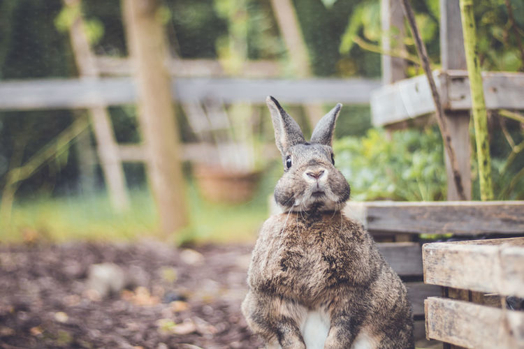Adorable gray and brown domestic bunny rabbit in an autumn garden , vintage setting Animal Themes Animal Mammal One Animal Animal Wildlife Focus On Foreground Animals In The Wild Vertebrate No People Day Nature Land Deer Boundary Field Portrait Fence Tree Barrier Outdoors Zoo Herbivorous Animal Head  Fawn Rabbits 🐇