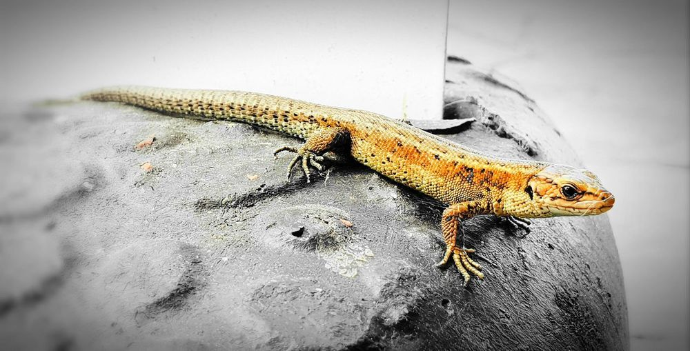 Lizzy the lizard Taking Pictures Taking Photos Scotland Dumfries And Galloway Mull Of Galloway Drummore Reptile Insect Close-up Lizard The Great Outdoors - 2018 EyeEm Awards The Still Life Photographer - 2018 EyeEm Awards