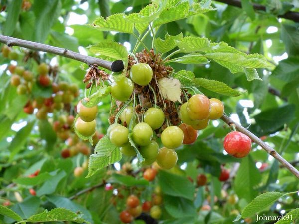Les cerises vertes de ma tante. - My aunt's green cherries. Cerise  Nature Cherry Green