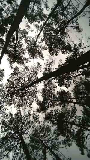 Beauty In Nature Branches And Sky Frog Perspective From Where I Stand Looking At The Sky Low Angle View Tall - High Tree Tree_collection  Treehugger Trees And Sky Treescape Treesilhouette Up To The Sky My EyeEm Collection Looking Up The Galaxy Looking Up At The Sky