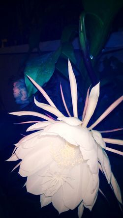 Amazingly beautiful and blossom flower. White Color Kamal Unique Beautiful Nature Rare Beauty Brahma Kamal Blossom