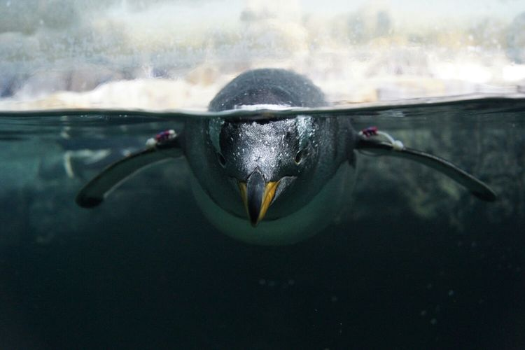 Close-up of penguin swimming in pond at zoo seen through glass