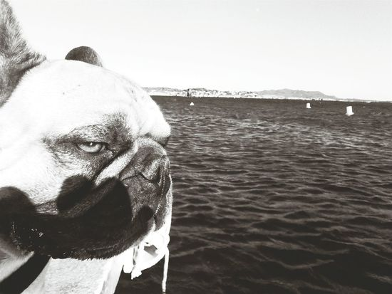Taking Photos Frenchbulldog Cute Pets Summertime Blackandwhite Dog