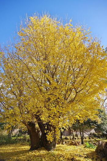 ちょっとピークは過ぎてたけど、祖父江のイチョウは綺麗でした。 いちょう 銀杏 Ginkgo Biloba Ginkgo Tree Ginkgo Leaves Yellow Leaves