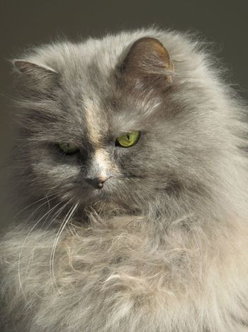 Longhaired Cats Pet Portraits Domestic Animals Cats Persian Mix Most Beautiful Cat In The World One Animal Pets Domestic Cat Close-up Feline Cat Beauty Soft Sweet Good Feeling Denmark Things We Love So Beautiful  Cozy Cat Veterinarian Animals Cats EyeEm Best Shots Pets Photography
