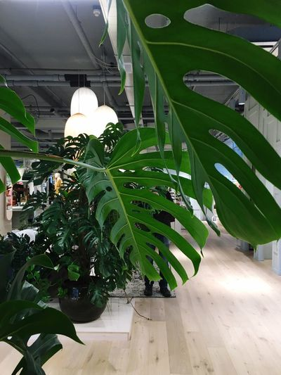 Plant Growth Green Color Leaf Nature Plant Part Day Indoors  Greenhouse Vulnerability  Freshness Sunlight Close-up Architecture No People