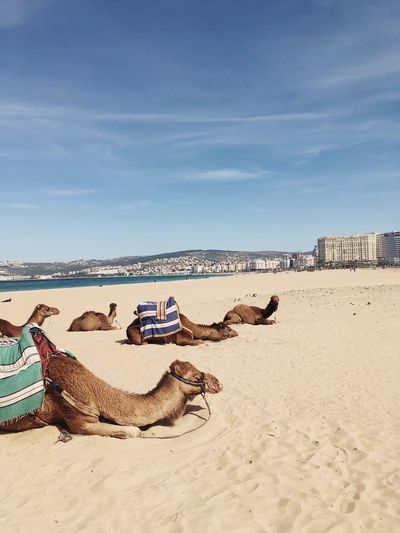 EyeEm Selects Sand Beach Day Sea Outdoors Sky Nature Horizon Over Water Camel Morocco Africa Tangier Animal Themes Vacations Summer Holiday Travel Destinations No People