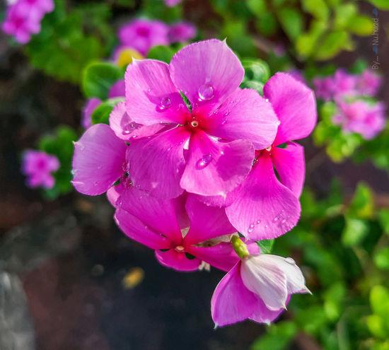 Flower Head Flower Periwinkle Petunia Pink Color Petal Close-up Blooming Plant