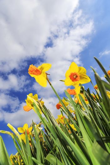 daffodils with