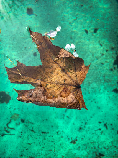 Brown leaf and tree blossoms on the green colored water surface of a dirty swimming pool in spring after winter season Plant Part Leaf Nature No People Dry Water Day Close-up Blue Outdoors Turquoise Colored High Angle View Leaf Vein Brown Fragility Plant Vulnerability  Change Springtime Pool Swimming Pool Season  Dirty Abandoned Nature