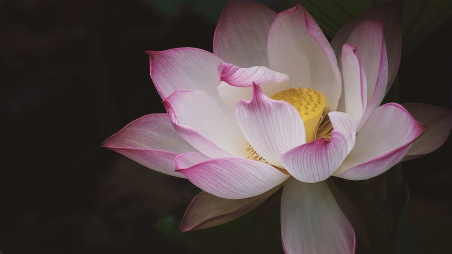 Beauty In Nature Color Lotus Lotus Water Lily Lotus Flower Pink Pink Color Pink Flower