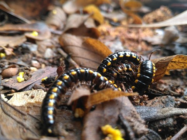 black milipede(Diplopoda) Anthropoda Leaves Milipede Nature Dry Leaves EyeEm Selects Insect Animal Themes Close-up