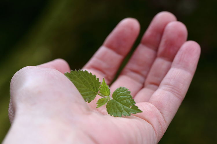 Nettle sprout on hand. Adult Bokeh Bokehlicious Close-up Eye4photography  EyeEm Best Shots The Great Outdoors - 2017 EyeEm Awards Gift Green Color Health Holding Human Body Part Human Hand Leaf Medicinal Plant Minimalism Nettle Offering One Person Palm People Sickness Spring Sprout Stinging Nettles The Still Life Photographer - 2018 EyeEm Awards