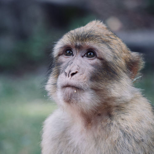 Photo of a moroccan magot, a macaque from the atlas taken in a one of a kind magot reserve in alsace