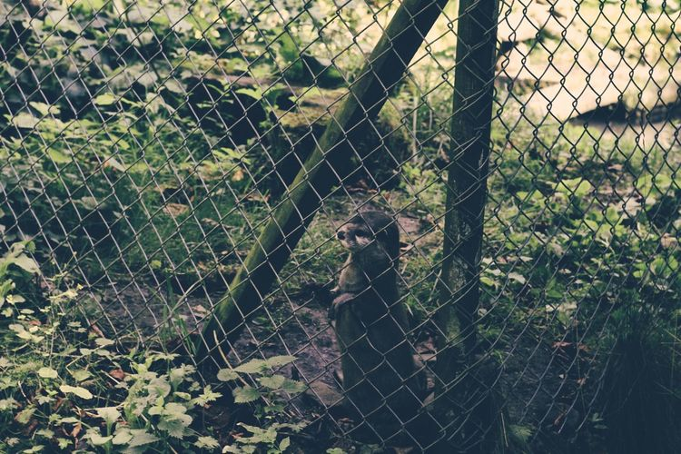 Animal Themes Animals In Captivity Boundary Cat Chain Link Fence Chainlink Chainlink Fence Curiosity Day Domestic Animals Endangered Species Fence Focus On Foreground Gate Mammal Metal Nature One Animal Outdoors Protection Safety Security Trapped Wire Mesh Zoo